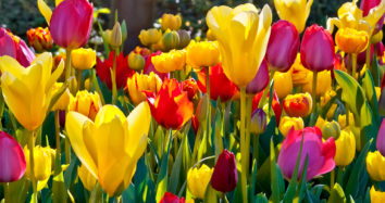 PRE-TOUR: TULIPS IN HOLLAND